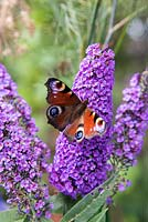 Peacock butterfly (Inachis io) sat upon Buddleja