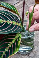 Rescuing a neglected Maranta leuconeura 'Erythroneura' (prayer plant) - root shoot end cuttings in water and trim off brown bracts