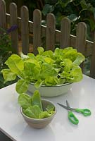 Growing lettuce salad bowl in enamel container