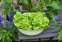 Butterhead lettuces growing in vintage enamel bowl