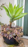 Mixed container with Agave attenuata, X Graptoveria 'Fred Ives'