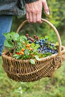 Woman carrying basket full of Rose hips, Sloe berries - Prunus spinosa and Wild blackberries - Rubus fruticosus. All foraged from hedgerow.