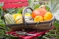 Trug of harvested pumpkins and gourds. Pumpkin 'Jack Be Little', 'Uchiki - Kuri'