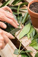 Removing side leaves on Laurus nobilis - Bay cuttings