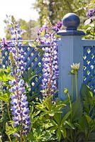 Blue painted trellis. Planting includes lupinus, dahlias, hydrangea and perovskia.