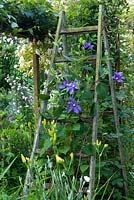 Clematis integrifolia durandii growing up a ladder