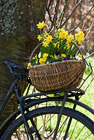 Basket with Narcissus on an old bicycle