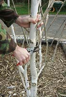 Pruning off a dead lateral branch from a silver birch tree that has rotted to prevent decay spreading into the main trunk