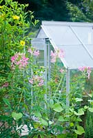 Greenhouse with pink cleome and sunflower