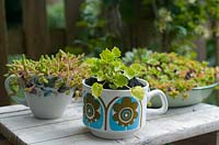 Vintage cups planted with campanula 'dickson's gold' and sedums