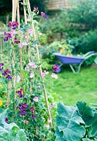 Garden view with sweet peas and purple wheelbarrow in distance