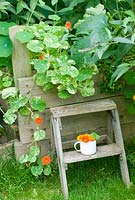 Nasturtium alaska trailing over raised wooden bed