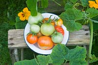 Picked tomatoes on wooden steps with yellow nasturtiums