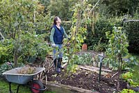 Clearing vegetable patch, making room for new plants. Removing runner beans and stakes