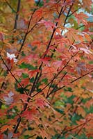 Acer x freemanii (Autumn Blaze) 'Jeffersred'