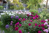 Peony garden backed by wooden fence.  Paeonia Lactiflora 'Immacul�e', Paeonia lactiflora 'Kansas', Paeonia lactiflora  'Sarah Bernhardt' and Allium 'Globemaster'