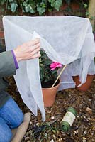 Winter protection. Materials needed for adding a cane supported fleece wrapping. Camellia x williamsii 'Anticipation'