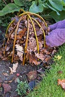 Winter protection. Creating a protective cloche for Dahlia 'Bishops Children'. Constructed from willow branches bent to shape and secured in ground, insulated with autumnal leaves.