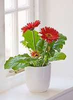Red Gerbera in white container