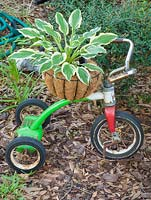 Hosta in container on childs trike