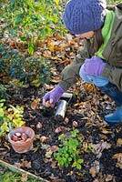 Woman planting Tulipa 'Rococo' bulbs in fresh hole made using Hand held bulb planter