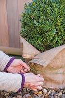 Protecting vulnerable pots with hessian to prevent damage during Winter