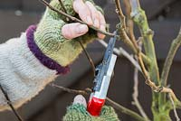 Cutting off damaged or crossing branches on fruit tree. Apple 'Egremont Russet'