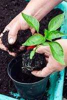 Potting on a Chilli Pepper plant