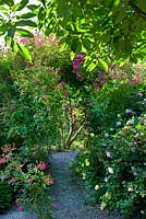 Path leading through climbing roses creating a tunnel