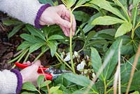 Cutting back foliage on Helleborus niger, allowing room for emerging flowers and to prevent disease.