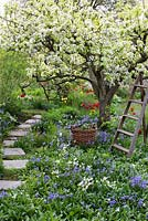 Spring garden with old pear tree in bloom. Wooden ladder and basket surrounded by planting of tulips, hosta, bluebells and narcissus