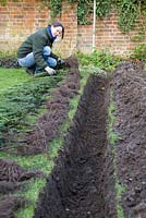 Spacing out bare root Yew plants equally along the trench.