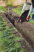 Adding manure to trench to assist growth of Yew Hedge.