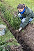 Planting bare root Yew plants in trench.