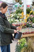 Woman inspecting Hamamelis x intermedia 'Harry' for purchase within a garden nursery.