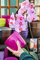 Woman matching coloured pot to Phalaenopsis. Moth orchid
