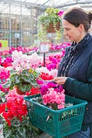 Woman browsing selection of Cyclamen available at a garden nursery.