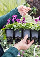Woman holding modules of Viola 'Raspberry' Sorbet series in a garden nursery