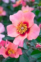 Rosa For Your Eyes Only 'Cheweyesup' PBR. Rose of the year 2015
