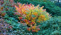 Rhus typhina 'Dissecta' syn. R. Hirta - Stag's horn sumach