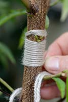 T-budding or shield budding a Peach tree - Step 6 - strapping the graft with a wool yarn