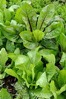 Chicories 'Sugarloaf' and 'Rossa di Verona'