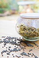 Glass jar of Sprouted Dark Speckled Lentils, with lentils scattered on table.