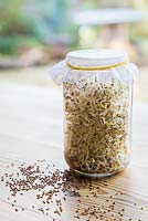 Glass jar containing Sprouted Alfalfa seeds, with loose seeds scattered on table.