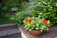 Nasturtium 'Firebird', new for 2014, Thompson and Morgan, in terracotta pot, garden setting with Philadelphus coronarius and Alchemilla mollis