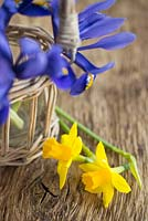 Display of Iris reticulata and Narcissus 'Tete-a-tete' against wooden surface