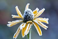 Rudbeckia maxima with hoar frost