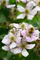 Rubus fruticosus 'Black Satin' - Thornless Blackberry