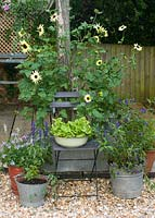 Containers on patio with sunflower Italian white