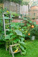 Squash 'Potimarron' and nasturtiums climbing on vintage wooden steps